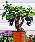 Miniature Grape Vine Seeds, Pack of 10+ Seeds