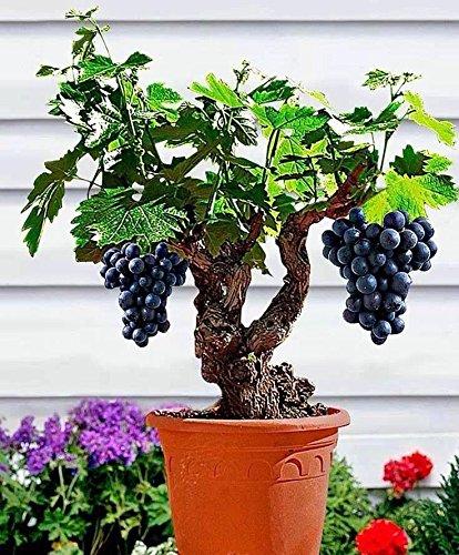 Miniature Grape Vine Rare Seeds by E Garden