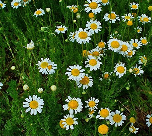 herb-seeds-chamomile-roman-2500-seeds