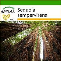 SAFLAX - Secuoya roja - 50 semillas - Con sustrato - Sequoia sempervirens