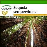 SAFLAX - Sequoia sempreverde - 50 semi - Con substrato - Sequoia sempervirens