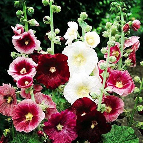 Galleria fotografica 100 Pz Hot Hollyhock Seeds (Alcea Rosea 'Nigra') misto semi di fiori colore vegetale all'aperto per giardino Casa Beautifying Decorazione 2