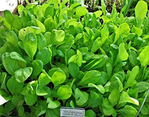 SENAPE KOMATSUNA 200 SEMI Sapore Delicato Vigorosa Resistente Verdura (Giardino Insalata Fresca)