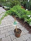Juniperus procumbens Nana - japanischer Kriechwacholder Stamm 40cm