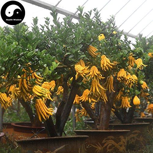 Acheter Citrus Medica sarcodactylis Arbre Graines Plante Citron Bergamote Arbre