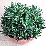 Aloe,sehr große kräftige,stark verzweigte Pflanzen,25er Pflanzschale ,ca25-30cm hoch