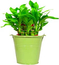 Trust Basket Lucky Bamboo with Green Bucket