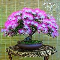 TOPmountain Beautiful Acacia Tree Seeds 20pcs Plant Flower Seeds Bonsai Flower Seeds for Home Garden