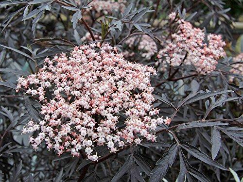 Holunderbeere / Flieder \'Black Lace\' - Sambucus nigra Black Lace - Containerware 60-80 cm - Garten von Ehren®