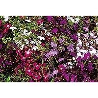 Desconocido Generic Flor Lobelia Cadena DE Perlas 4 gram ~ 120,000 Semillas DE Flores A Granel
