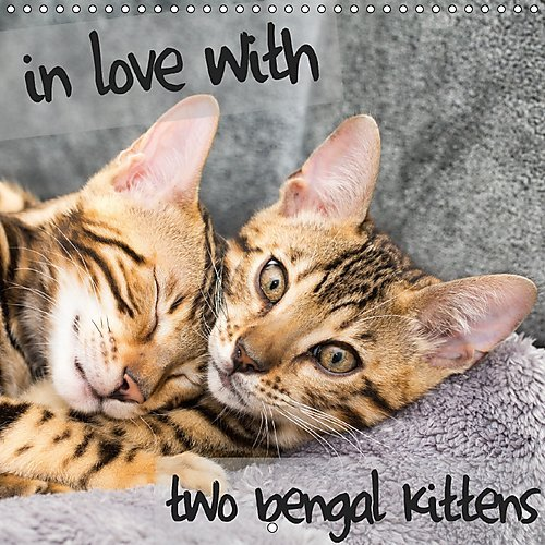 in-love-with-2-bengal-kittens-2017-two-kittens-of-a-beautiful-breed-will-bring-you-joy-the-whole-yea