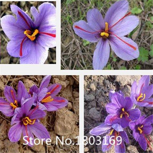 2016 100 pcs 100% authentique Safran Graines Semences plantes rares, bonsaï Bio Semences de couleurs