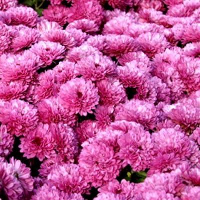 lichtnelke - Herbstchrysantheme ( Dendranthema indicum ' Rosensilber ' ) von Lichtnelke Pflanzenversand bei Du und dein Garten