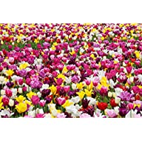 Extra Large Bulb Size - 50 Dutch Grown Tulip Bulbs - Mid-Spring Flowering - Autumn Planting - Darwin Hybrid - Mixed Colors
