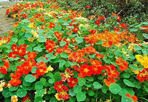 Flower Seeds : Nasturtium Jewel Of Africa Flower Seeds Easy To Grow Pot Garden Garden [Home Garden Seeds Eco Pack] Plant Seeds By Creative Farmer  available at amazon for Rs.99