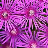 Vivai Le Georgiche Delosperma Cooperi (Mesembryanthemum)