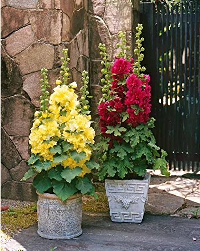 Flower Seeds : Double Hollyhock Pot Variety Flower Seeds Hanging Farm Seeds Garden [Home Garden Seeds Eco Pack] Plant Seeds By Creative Farmer  available at amazon for Rs.99