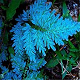 Keland Garten - 50 Stück Selten Adlerfarn (Pteridium aquilinum) Samen Hexenkraut Exotic Samen, Zauberpflanzen Zwergbaumfarn Samen winterhart
