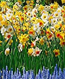 Narcisses en mélange-le paquet de 25-Bulbes à fleurs