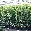 Efeu 140-175 cm (Hedera Hibernica) für eine 100% Sichtschutz Hecke - Immergrün & Winterhart | ClematisOnline Kletterpflanzen & Blumen von ClematisOnline auf Du und dein Garten