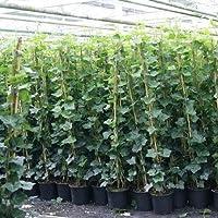 Amazon It Edera Piante Semi E Bulbi Giardino E Giardinaggio