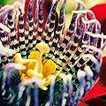 Gärtner Pötschke Königs-Grenadille Riesenpassionsblume von Gärtner Pötschke - Du und dein Garten