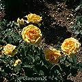 Strauchrose Sophia Renaissance 30-60cm von Baumschule - Du und dein Garten