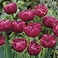 Rarität Tulpe Margarita Dunkelviolett 10/ 25 / Blumenzwiebeln gefüllte Tulpe Wuchshöhe ca. bis 25 cm Tulipa von Peciborsc Pflanzenraritäten bei Du und dein Garten