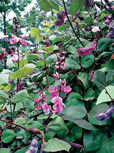 Generic 100 - Seeds: Lila Bohne sät - Sehr Bunte ing Pflanzen! Rubin-lila Bohnen- (Samen Bohne Lila)