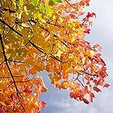 Pixblick - Herbstbaum - Hochwertiges Wandbild - Acrylglas 150 x 150 cm