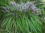 3 x Pennisetum alopecuroides 'Moudry' 1 Liter (Ziergras/Gräser/Stauden) Lampenputzergras ab 3,19 pro Stück