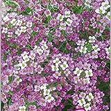 Pinkdose qualità Bellfarm Bonsai Rare Bianco Spezia palla di neve Fiore di fiori in vaso fiori ornamentali alta germinazione -50pcs / pack