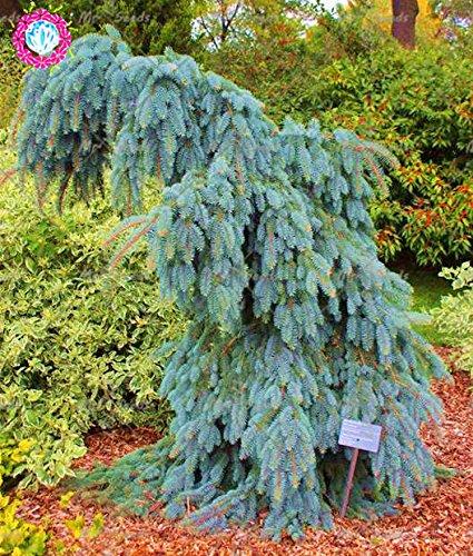 Escalade épinette bleue 50pcs arbres Graines Picea pungens Graines Arbre à feuilles persistantes d'ornement plantes vivaces pour jardin