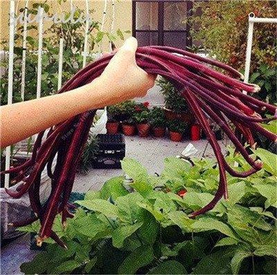 8 Pcs Multi Color haricots desserrées graine long des haricots semences Graines de plantes en pot poussent plus vite vivaces Fleurs Jardin Plante