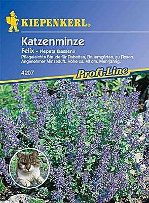 Nepeta fassenii Katzenminze Felix blau von Kiepenkerl - Du und dein Garten