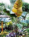 Future Exotics Musa Sikkimensis Red Tiger winterharte Banane einjährig 10-12 cm, 2 Stück