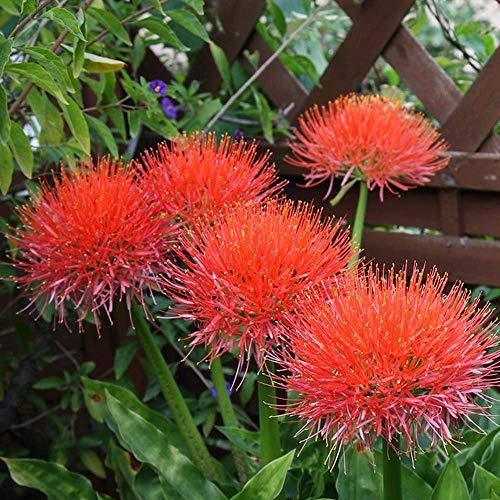 MEIGUISHA Gartensamen - Selten blutblume zwiebeln blumen blutblume samen Agapanthus Pflanzen Scadoxus multiflorus Blumensamen mehrjährig winterhart für Topf und Vase