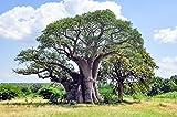 Australische Baobab 4 Samen,Australischer Affenbrotbaum, Adansonia Gregorii