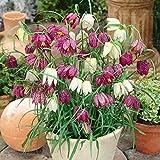 10 pc / sacchetto semi corona imperiale 9 colori Fritillaria Imperialis Semi Ground Cover Bonsai semi di fiore Vaso da giardino domestiche 1