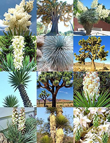YUCCA MIX, seltene Samens Aloe Blume saftige gemischte Agave exotischer Palme 15 Samen