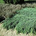 Blauer Kriechwacholder 'Blue Carpet' von Garten Schlüter - Du und dein Garten