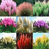 Kisshes Giardino - 500/1000 pezzi Fioritura Pampas Semi di erba (Cortaderia selloana) Erba ornamentale Semi di fiori rari hardy