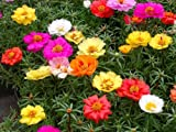 Portulaca Moss Rose Double Mix - 500 Samen
