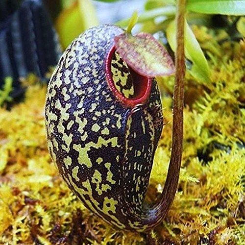 Nepenthes Mehrfarbig 100 Samen Fleischfressende Pflanze - Bonsai Sehr Süß Aussaat Topfpflanze