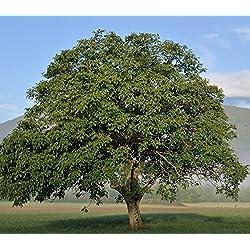 Baum des Jahres 2008 - Walnuss im Container Größe 80 bis 100 cm