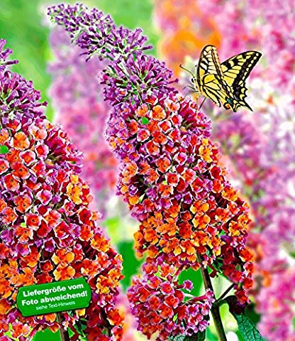 BALDUR-Garten Buddleia Sommerflieder 'Flower-Power®', 1 Pflanze, Buddleja Hybride