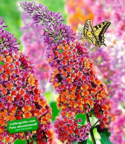 BALDUR-Garten Buddleia Sommerflieder 'Flower-Power' Schmetterlingsflieder Tricolor Schmetterlingsstrauch Zierstrauch, 1 Pflanze Buddleja Hybride
