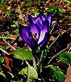 """Rarität: Crocus Krokus """" Rio Negro """" (5 XXL-Zwiebeln 8/9) von GHA-Thulke - Du und dein Garten"""