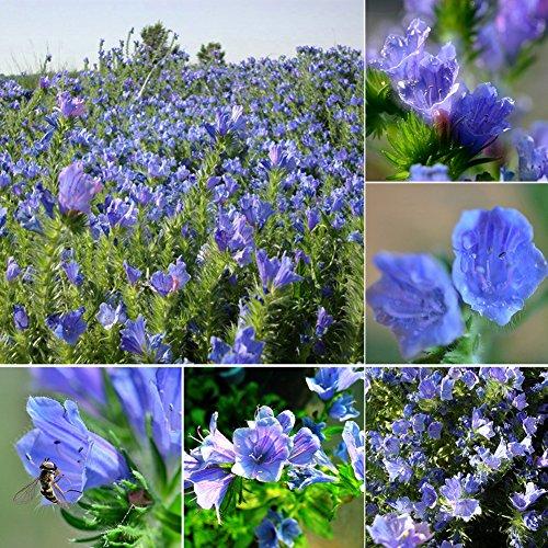 KimcHisxXv Echium Vulgare Samen, 50 St¨¹cke Echium Vulgare Blueweed Samen Blume Garten Balkon Bonsai Dekoration - Echium Vulgare Samen