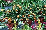 Semillas de árboles de naranja - ENANO Mandarín - CÍTRICOS MEDICAMENTO - Fruta Dulce - 10 Semillas